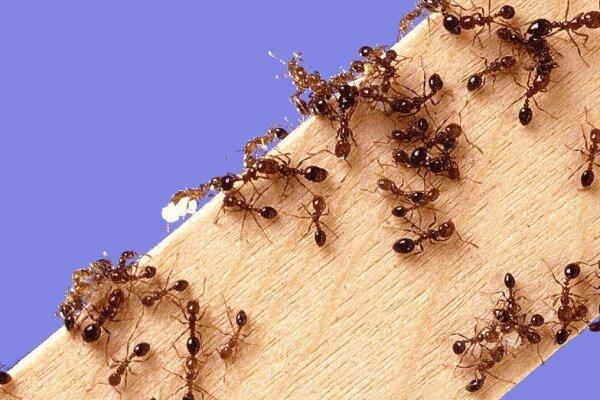 фото муравьев домашних