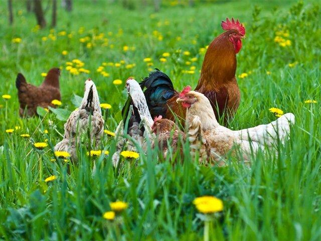 Как избавиться от куриных вшей