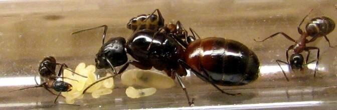 Как выглядит королева муравьев