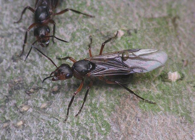 скачать серый 4 муравьев бесплатно