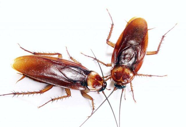 Как избавиться от тараканов народными средствами быстро и эффективно?