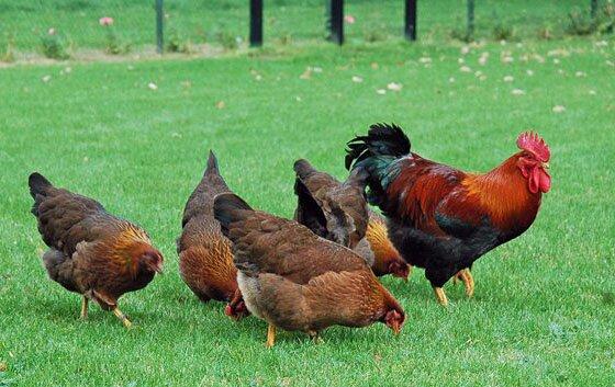 Как избавиться от куриного клеща
