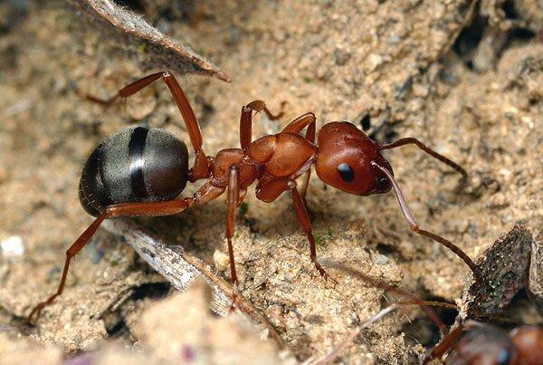 где живут муравьи картинки